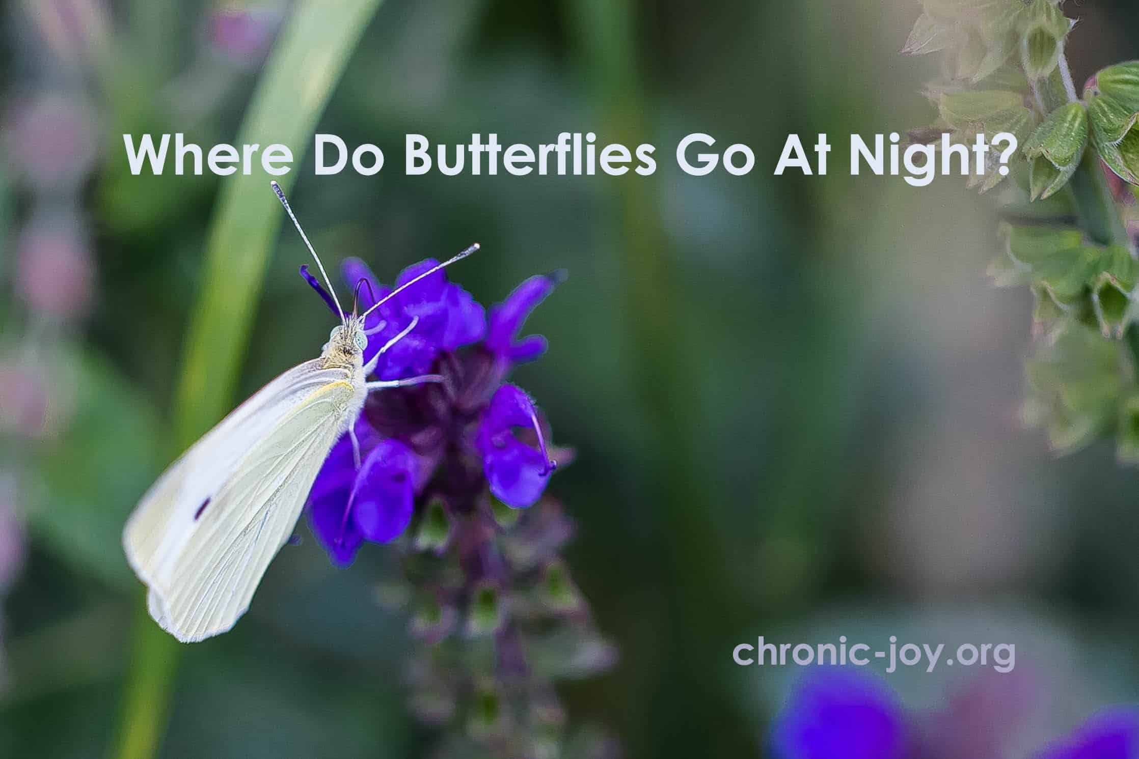 Where Do Butterflies Go At Night?